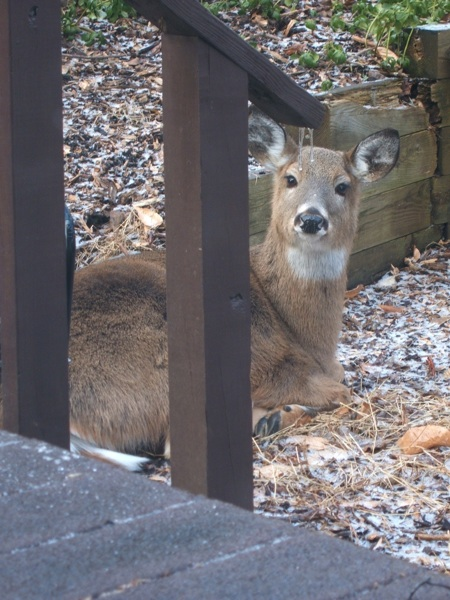 Deer hanging out by the kitchen window.